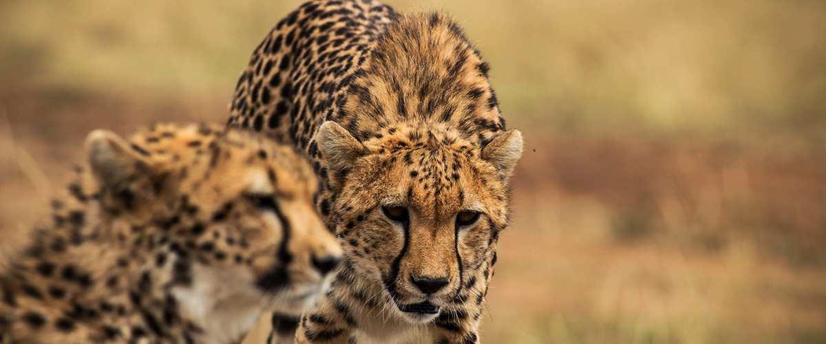 Leopard, Serengeti National Park